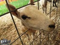 Goat - Middlesex County Fair 2013